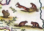 Animals - New Netherlands & New England