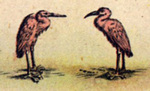 Birds - New Netherlands & New England by Willem Blaeu