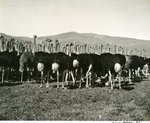 Ostriches by WKU Library Special Collections