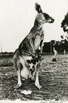 Kangaroo by WKU Library Special Collections