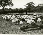 English Sheep by WKU Library Special Collections