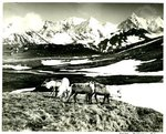Reindeer on South Georgia Island by WKU Library Special Collections